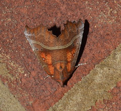 The Herald (Scoliopteryx libatrix) (Claire Sell) Tags: nature nikon wildlife moth lepidoptera nikond3200 theherald 1855mmf3556 erebidae d3200 nikon1855mm theheraldmoth scoliopteryxlibatrix