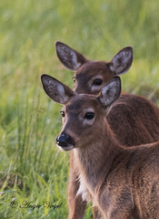 Columbia White-tail Twins (Angie Vogel Nature Photography) Tags: animal mammal twins wildlife deer fawns ridgefieldnationalwildliferefuge columbiawhitetaildeer