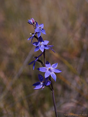 Dotted Sun Orchid (Tatters ) Tags: flowers orchid australia orchidaceae qld queensland purpleflowers girraweennationalpark blueflowers girraween thelymitra thelymitraixioides floraofgirraween