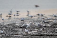 Caspian gull (The Gull Explorer) Tags: autumn nature birds animals gulls lithuania biodiversity migrant breeder caspiangull laruscachinnans wintering nemunasdelta borisbelchev hidephotography wwwalcedowildlifecom kintaifishponds nemunodeltarp hidenr1
