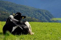 Chilling cow (sabinesie) Tags: italien italy animal landscape tiere kuh cow rind europa europe italia outdoor feld wiese gras mucca landschaft prato haustier animali paesaggio sdtirol altoadige southtyrol kalb mcken renon ritten grasland