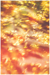 Red : Yellow : Green : Leaves : Autumn Abstraction (Gordon_Farquhar) Tags: autumn light red brown abstract blur tree green leaves yellow scotland focus exposure glasgow ground double falling fallen change abstraction leak