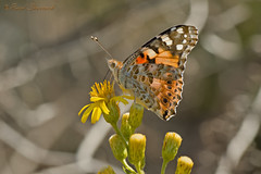 Painted Lady ( Vanessa cardui) (Raed Shorrosh) Tags: vanessa paintedlady vanessacardui  cardui