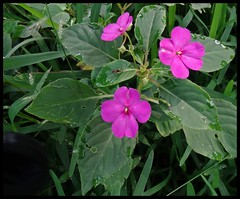 Wildflowers @ Maharashtra Nature Park (Indianature14) Tags: india nature forest october bombay maharashtra wildflowers mumbai wildflower impatiens balsam 2015 balsaminaceae cityforest wildflora mmrda indianature mahimnaturepark maharashtranaturepark monsoonflora mumbaiforest