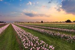 Tulip Field Sunset (Amitabhs Photography) Tags: sunset sky cloud flower color lines landscape dusk farm tulip d750 leading 1835 specnature