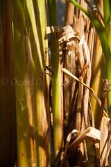Of Cattails & Damselflies 1 (LongInt57) Tags: blue brown canada green bc okanagan insects bugs cattails mating kelowna damselfly damselflies wetland layingeggs