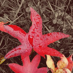 Red leaf in the rain (35mmMan) Tags: cameraphone autumn red colour monochrome rain leaf shape android partialcolour samsungkzoom