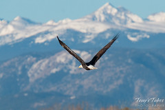 November 8, 2015 - A Bald Eagle flies in front of the snow-capped Rockies. (Tony's Takes)