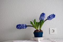 Jacintos (mati-hari) Tags: flores planta azul tiesto bulbos
