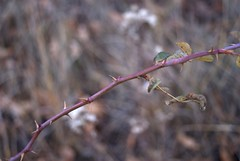 Thorns (melleus) Tags: autumn red fall nature leaves dangerous dry d200 thorn dogrose imagemagick dcraw