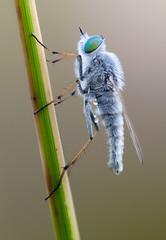 Silver Stiletto (johnhallmen) Tags: macro insect diptera kenkopro3002x therevidae canon5dmkii sigma18035 zerenestacker