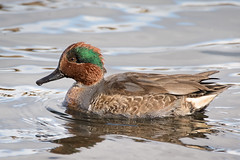Green-winged Teal (alicecahill) Tags: animal bird california centralcoast duck greenwingedteal nature sanluisobispocounty sweetsprings usa wild wildlife ©alicecahill