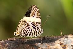 Colubura dirce - Mosaic - Dirce Beauty (Roger Wasley) Tags: brazil macro southamerica brasil butterfly amazon rainforest mosaic butterflies lodge jungle cristalino neotropical dircebeauty altafloresta coluburadirce