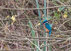 Kingfisher 023_9826 (Baffledmostly) Tags: birds kingfisher brandonmarsh