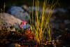 Flowers near Sharktooth Creek (speedcenter2001) Tags: wilderness anseladamswilderness california sierranevada sierra sierraphile highsierra mountains outdoor hiking backpacking backcountry nikonseriese75150mmf35