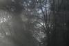 Mt Tabor (Tony Pulokas) Tags: mounttabor mounttaborpark mttabor portland oregon winter fog tree maple bigleafmaple tilt blur bokeh