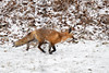 Foxy (dbifulco) Tags: snowing animal g nature newjersey nikkor300f4pfed redfox snow wildlife winter yard