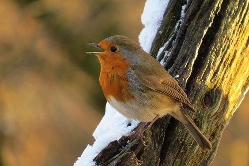 Singing Robin in the snow