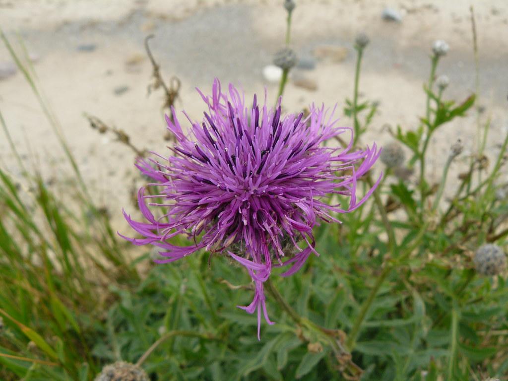 Centaurea scabiosa-Skabiosen-Flockenblume2