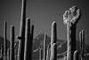 Cactus Forest (jswensen2012) Tags: arizona saguarocactus cristatesaguarocactus crestedsaguarocactus cactus desert sonorandesert saguaronationalpark