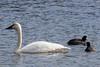 Tundra Swan (J.B. Churchill) Tags: birds deepcreeklake garrett maryland places rogo rosssgoose taxonomy waterfowl mchenry unitedstates us