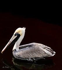 Gabage collector . . . (Dr. Farnsworth) Tags: bird large pelican garbage collector water reflection fl florida winter january2017 ncg