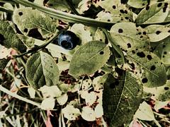 image (strutt_anneli) Tags: finland suomi tampere forest pyynikki metsa autumn syksy mustikka bilberry plant green leaf lehti vihrea
