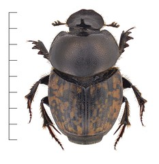 Onthophagus nuchicornis ♂ (Oskar Gran) Tags: rödlistad coleoptera beetle scarabaeidae scarabbeetle