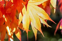 20161022-_DSC3556-1 (WiltsJambo) Tags: leaves places westburysurrounding westonbirt