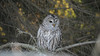 DSC_2120 (willy_chan88) Tags: barred owl nikon d7200 sigma 150600mm