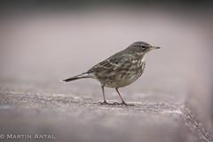 Little bird (martinantal) Tags: little bird sonya580 minolta 80200 apo high speed dawlishwarren devon