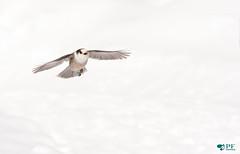 ''Planner!'' Mesangeai du canada/ gray jay-perisoreus canadensis (pascaleforest) Tags: animal oiseau bird nature winter hiver snow neige voler flying passion nikon fauna wild wildlife québec canada