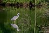 Blauwe Reiger / Begijnendijk Belgie (Jul Pitbull) Tags: fuut kuikens bootjegopro bootjeafstandbediening ganzen vliegendeeenden