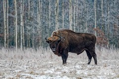 Bison Bull (fascinationwildlife) Tags: animal mammal bison bull male wild wildlife winter nature natur national park bialowieza poland polen frost snow ice cold morning tree forest europe european wisent field