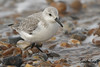 SANDERLING  /  CALIDRIS ALBA. (Tom Webzell) Tags: naturethroughthelens