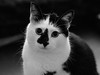 20161213-PC130001 (douglasjarvis995) Tags: cat pet blackwhite black white portrait animal hair fur eyes look watch olympus omd em5