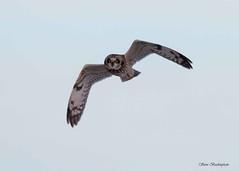 Short-eared Owl taken in low light (sbuckinghamnj) Tags: shortearedowl owl raptor blackdirtregion newyork orangecounty flight