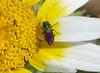Jewel Beetle. Anthaxia scutellaris? Buprestidae (gailhampshire) Tags: jewel beetle anthaxiascutellaris buprestidae