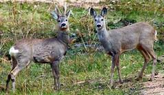 Самец и самка косули