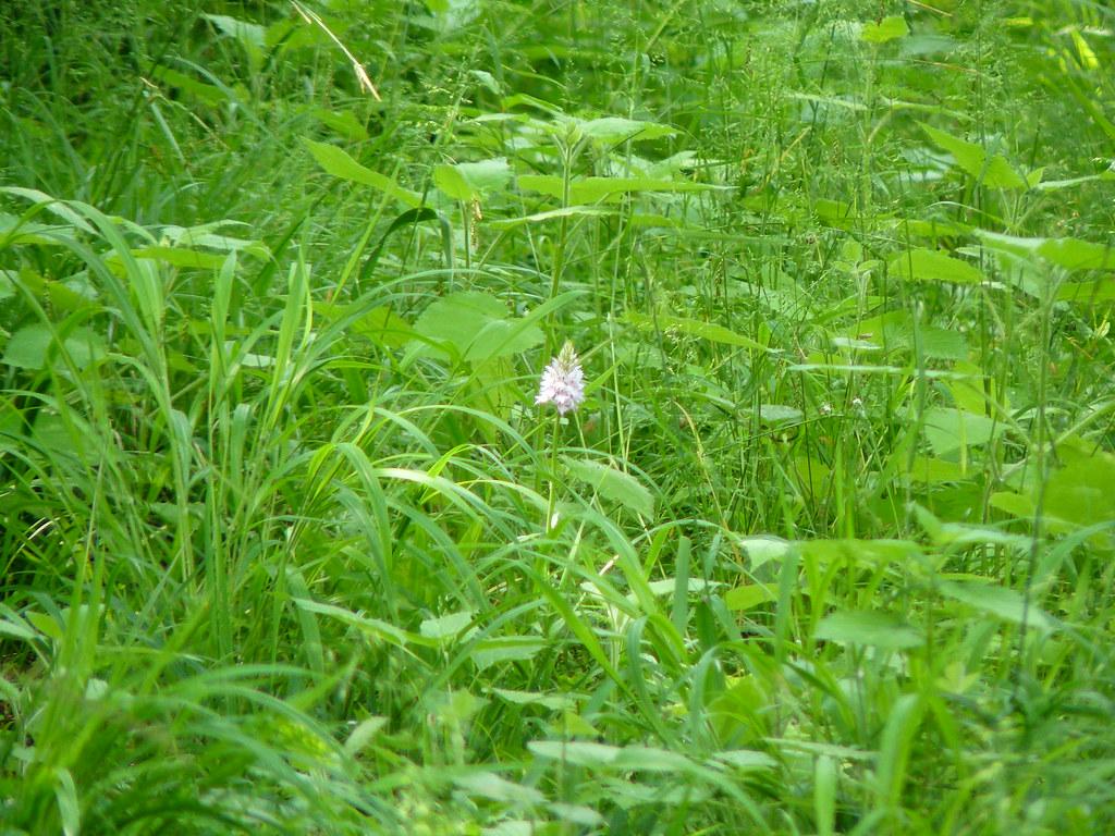 Dactylorhiza maculata- Geflecktes Knabenkraut_05