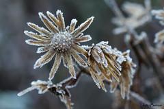 It's cold outside... (JOAO DE BARROS) Tags: joão barros flower ice winter botany