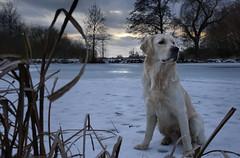 Sunset On Ice (clé manuel) Tags: dog nature winter lake ice frozen golden retriever hund natur see weiher gefroren zugefroren labrador pond sunset sundown sonnenuntergang sonyalpha