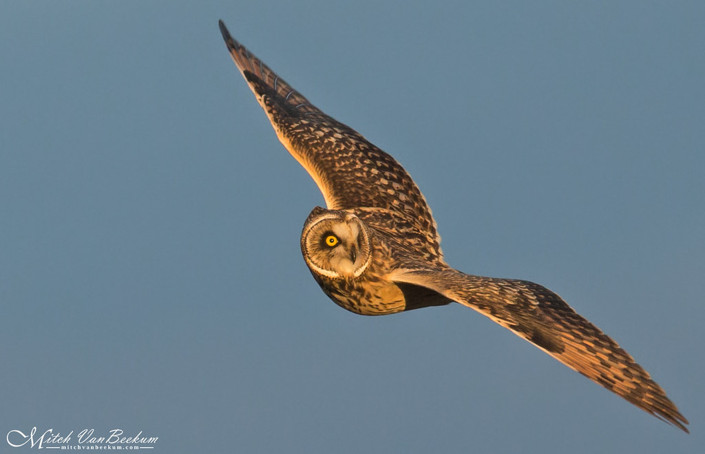 I Got My Eye On You!  (Short-Eared Owl)