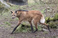 Maned Wolf (Gary J Morris) Tags: manedwolf exmoor zoo zoology maned wolf 11022017 gary morris canon 7d mkii canon7dmkii
