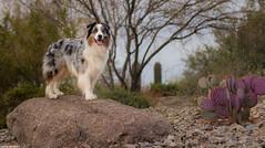 (9/52) Desert Dog (Jasper's Human) Tags: aussie australianshepherd 52weeksfordogs 52wfd desert dog