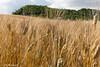 sentiero delle campagne calitrane (Vito Galgano) Tags: nature field wheat campo grano orata escursione calitri