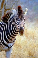 DSC_5238 (Arno Meintjes Wildlife) Tags: africa nature southafrica wildlife safari zebra krugerpark burchells equusburchelli burchellszebra equusquaggaburchellii arnomeintjes