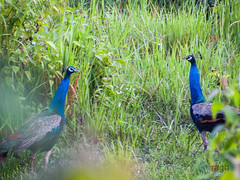 face to face peacocks (raghphotography) Tags: wyanad raghphotography kerala forest canon ragh 520hs peacocks facetoface beautiful