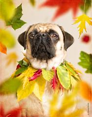 hello fall (brat_ro) Tags: dog cute animal fun lola pug hund lovely mops carlino