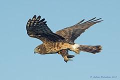 Northern Harrier catches Least Bittern (Andrew's Wildlife) Tags: westpalmbeach leastbittern northernharrier